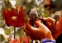 opium-poppypic.jpg